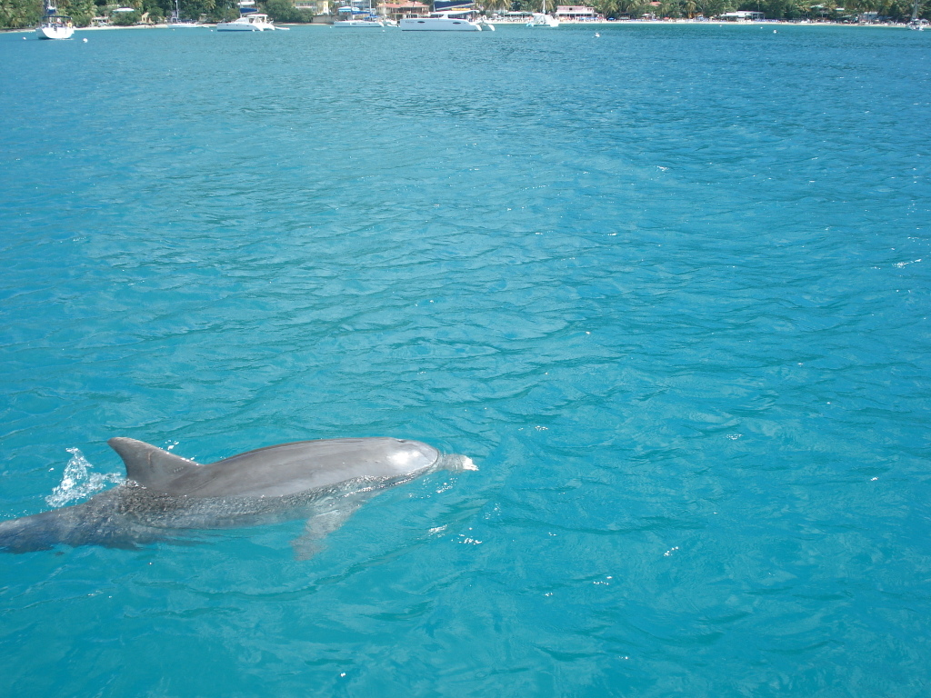 Dolphin swimming across our bow at Cane Garden Bay