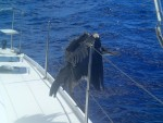 "The rough ""bird"" passage to BVI"